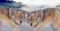 two-wolves-pain-workshop-600.png